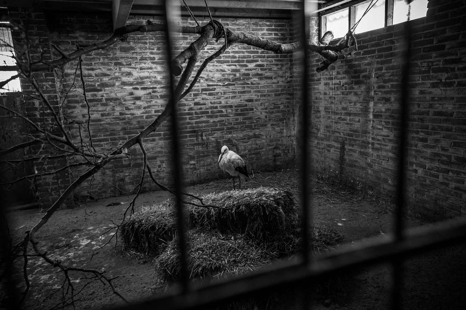 White stork. Denmark, 2016. JMcArthur / Born Free Foundation