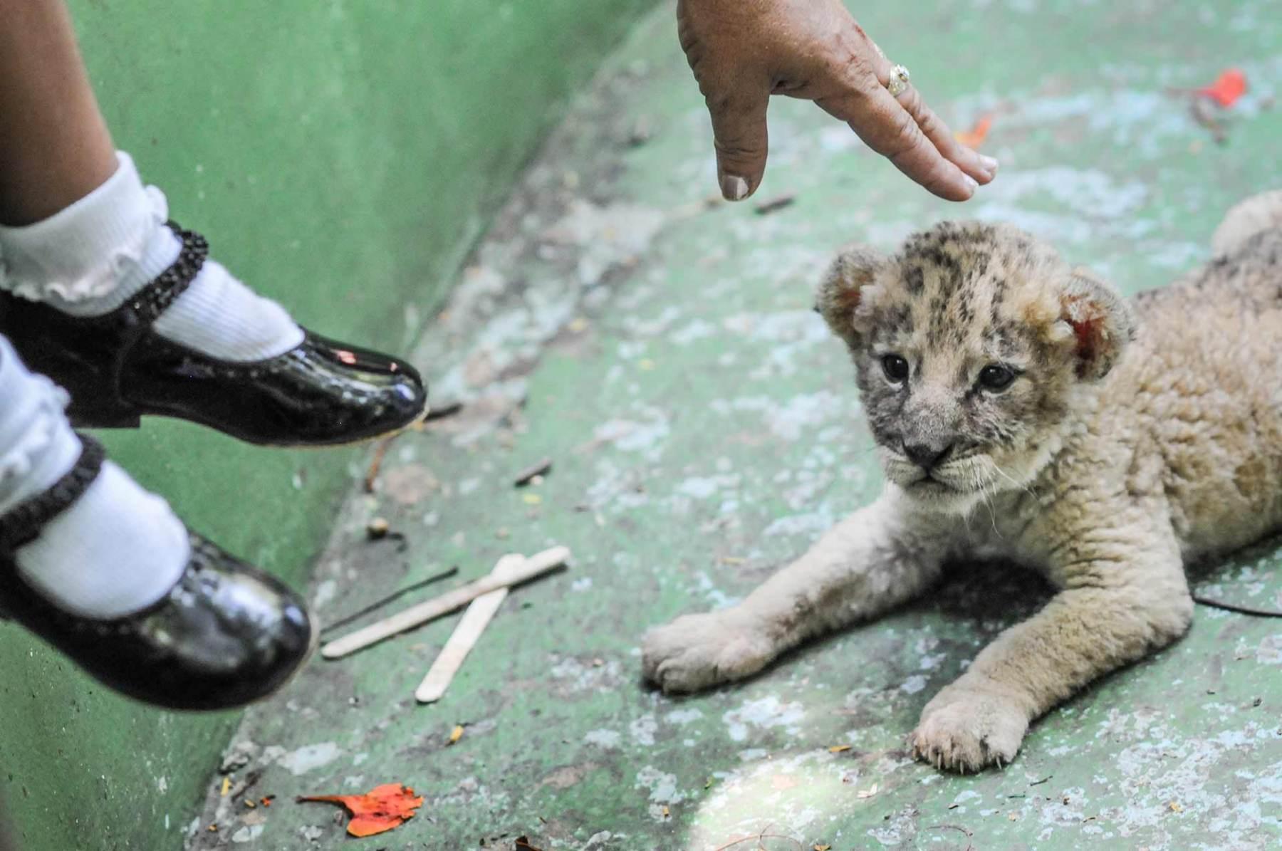 Lion cub. Cuba, 2008