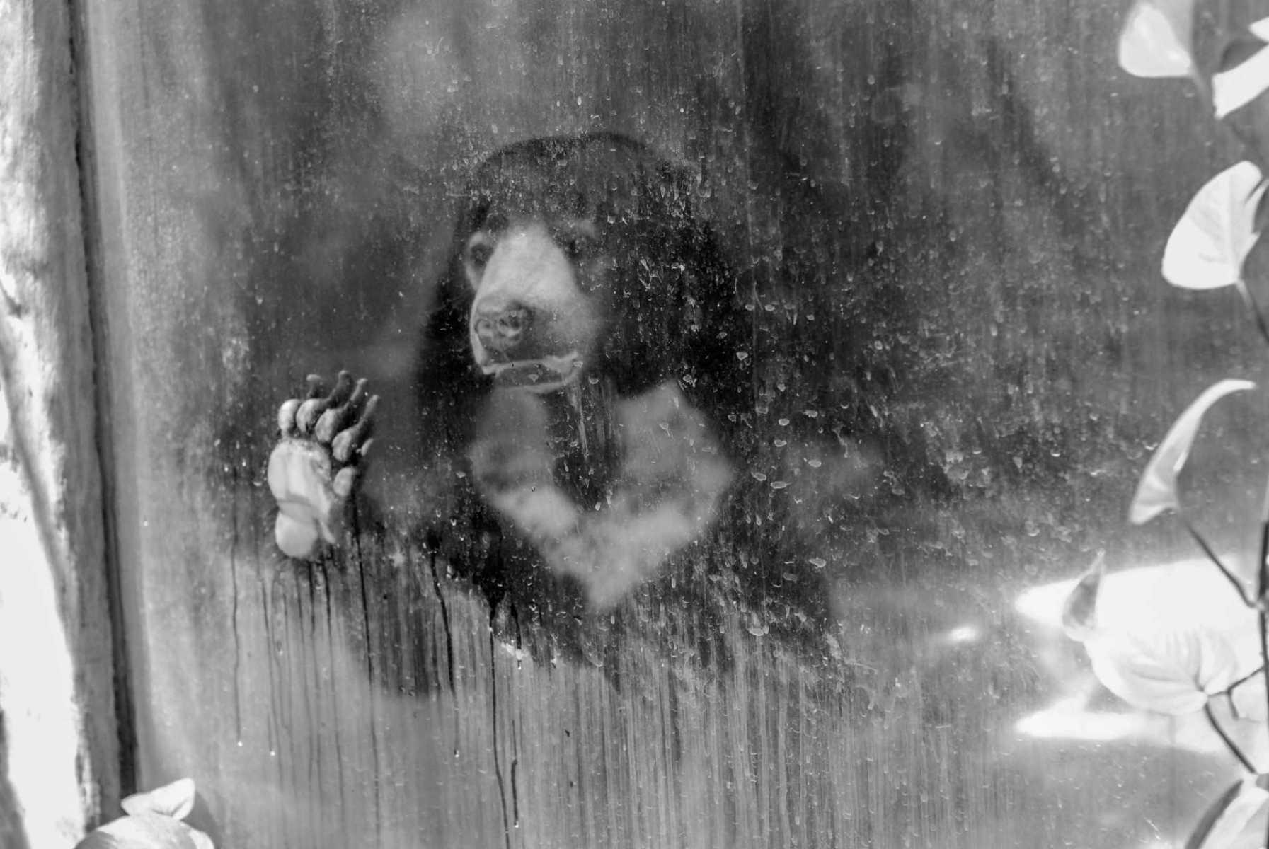 Malayan sun bear. Thailand, 2008