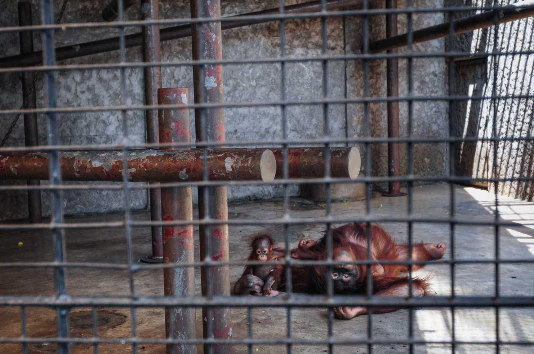 Orangutans. Thailand, 2008
