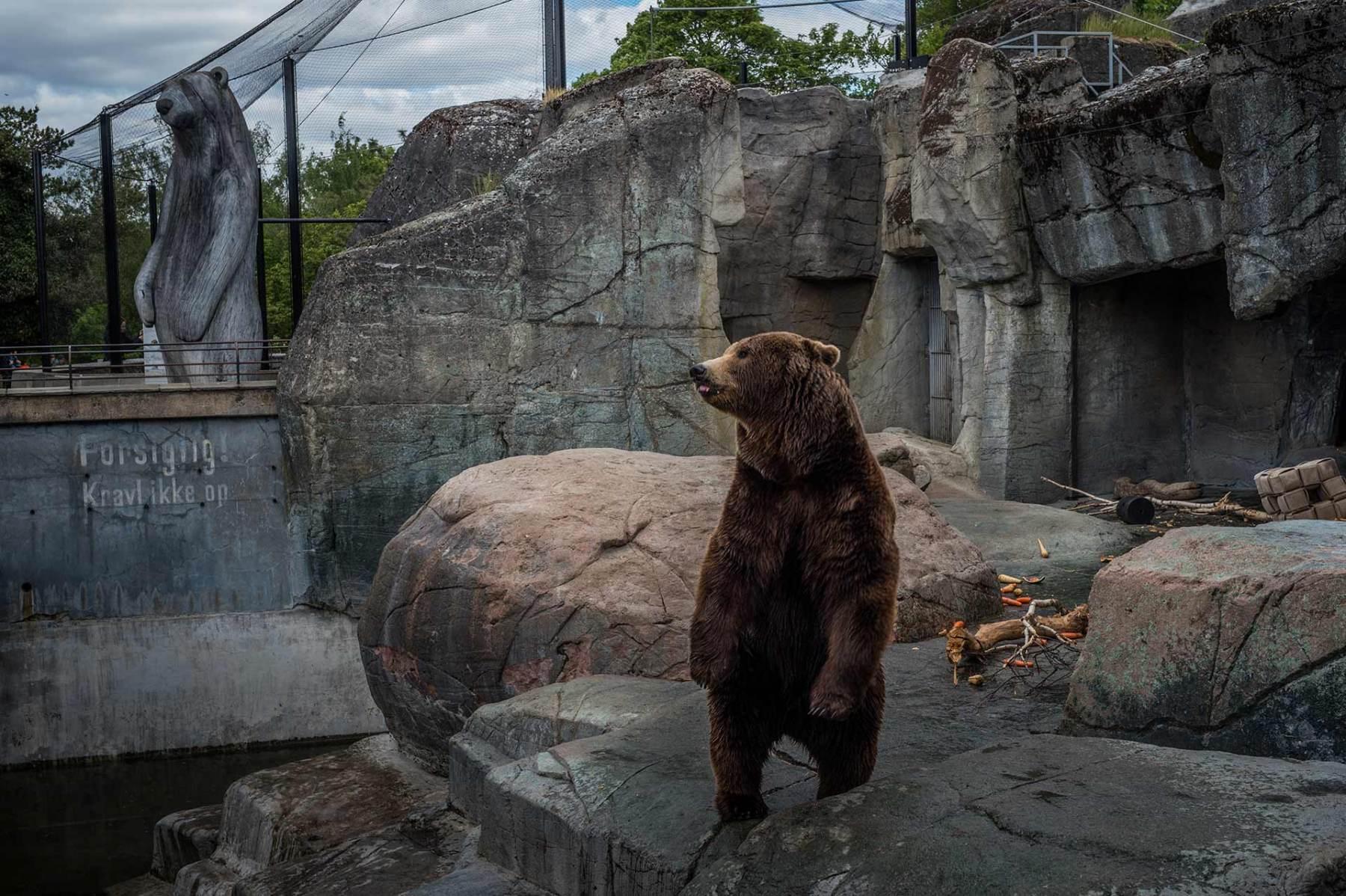 Brown bear, Denmark, 2016. JMcArthur/Born Free Foundation