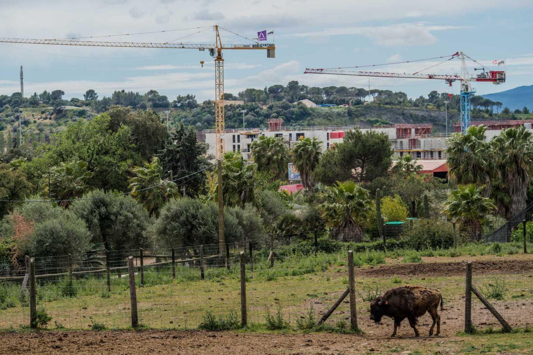 Plains buffalo. France, 2016. JMcArthur / Born Free Foundation