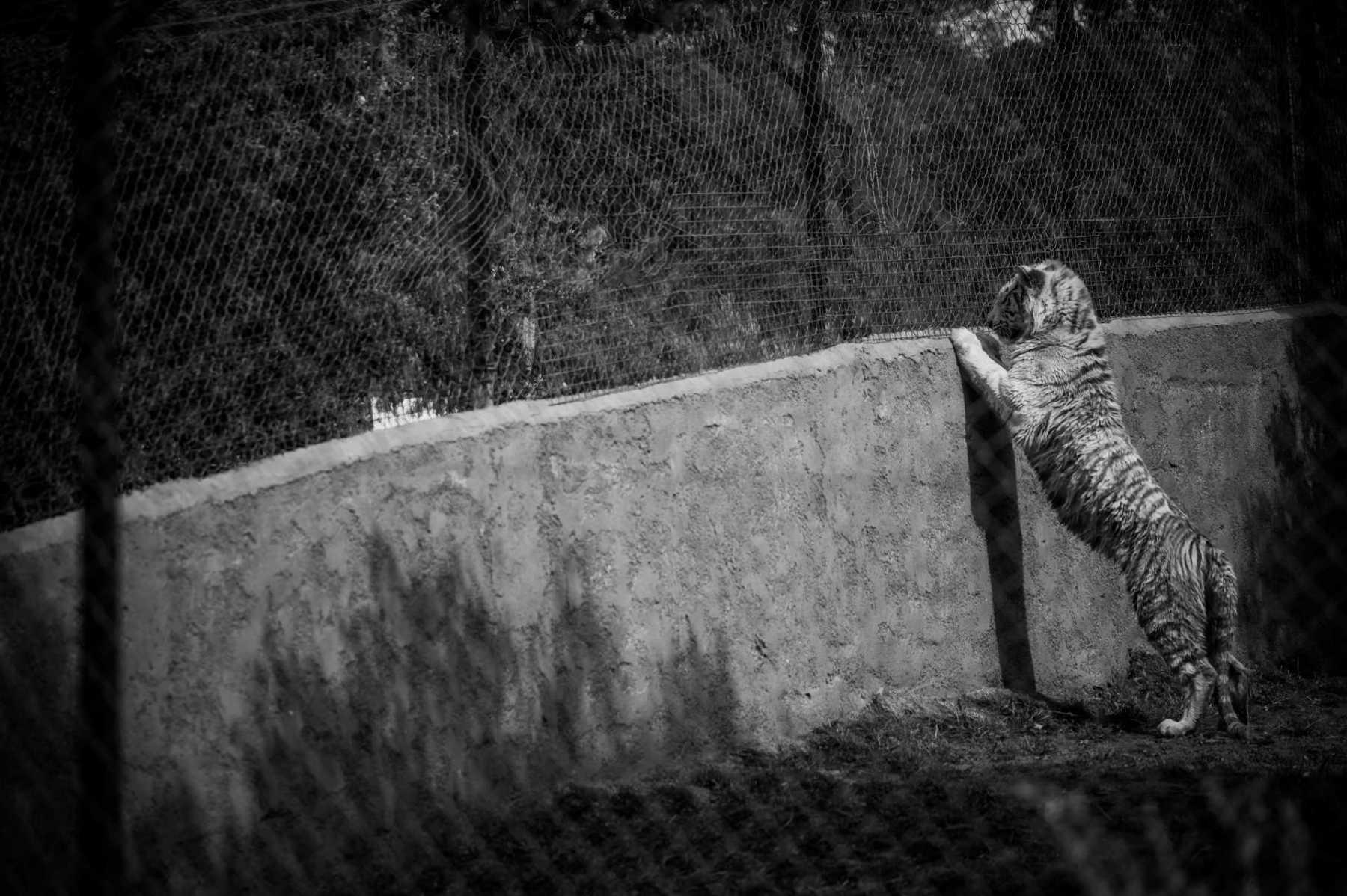 Tiger. France, 2016. JMcArthur / Born Free Foundation
