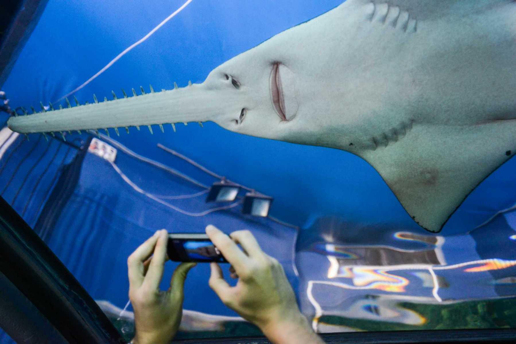 Sawfish. Australia, 2013