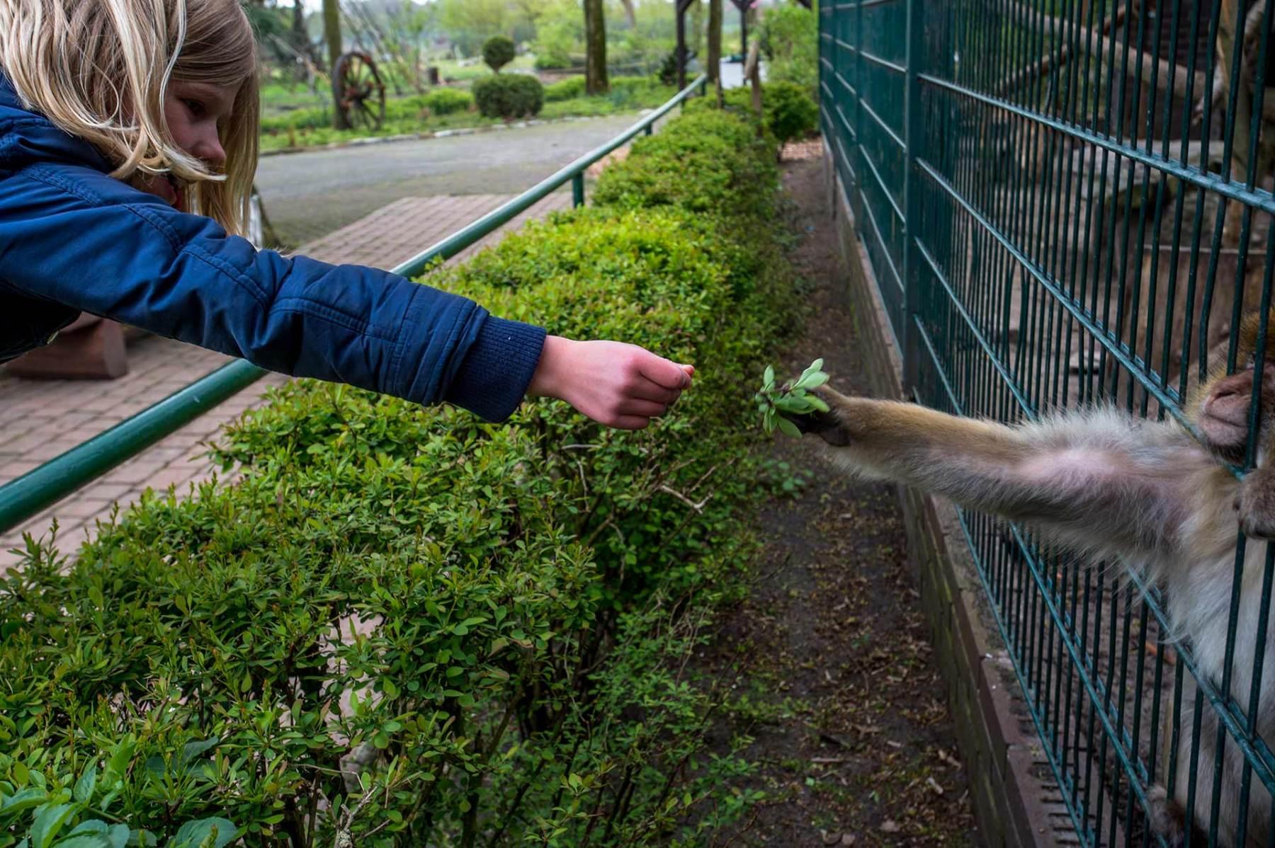 Barbary macaque. Germany, 2016. JMcArthur / Born Free Foundation