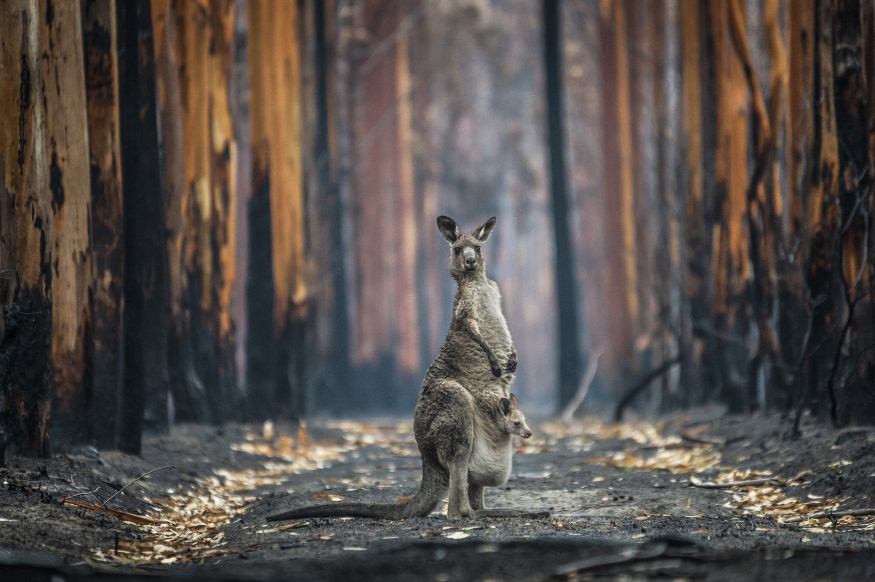 Out of the ashes. A kangaroo and her joey stand in a burned-out eucalyptus plantation after the cataclysmic 2019-2020 bushfires. Australia. Jo-Anne McArthur