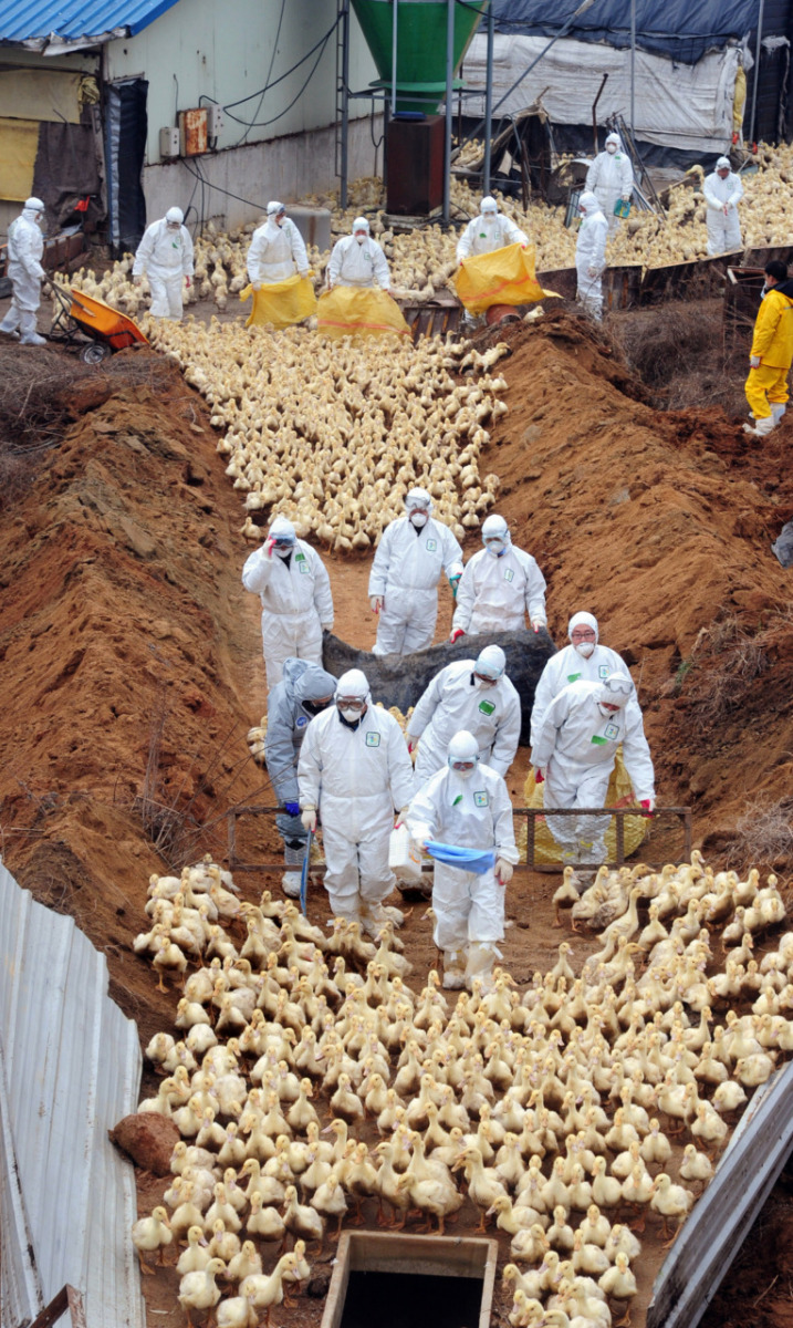 Ducks are herded into a pit to be buried alive following an outbreak of the highly pathogenic avian influenza. South Korea. Anonymous