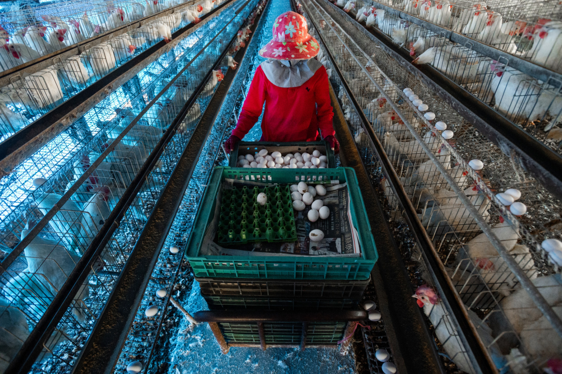 Collecting eggs from layer hens on an intensive poultry farm. Taiwan. Jo-Anne McArthur