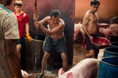 A pig screams as she In some small Asian slaughterhouses, clubbing is used to stun pigs. This often fails to render the animals fully unconscious before their throats are slit. Thailand. Jo-Anne McArthur is clubbed before slaughter.