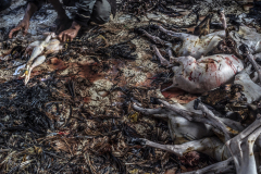 Animals killed in sacrifice are plucked, dehaired, dismembered and boiled at Dakshinkali temple. Nepal. Jo-Anne McArthur