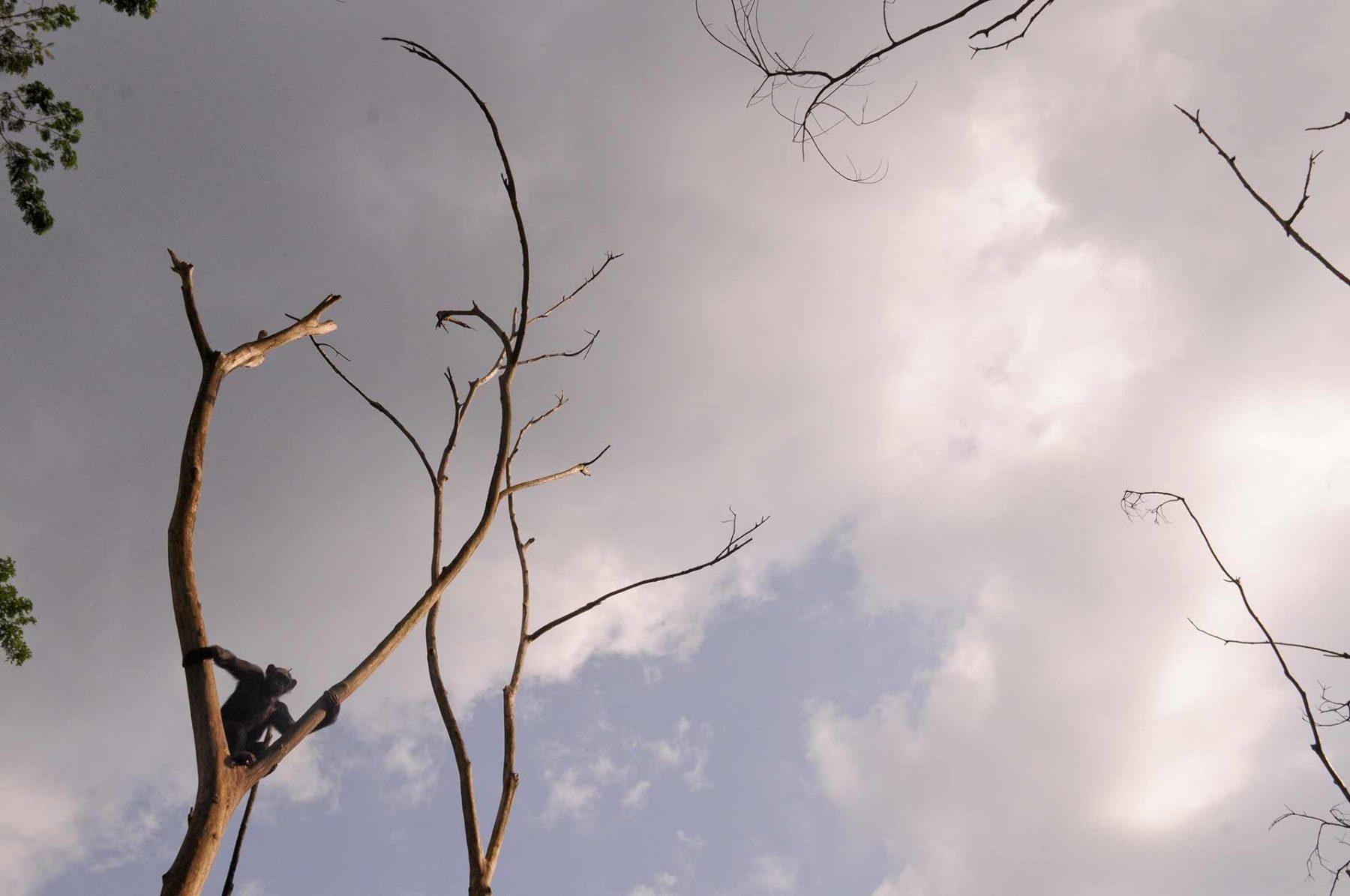 Evuna the chimpanzee, up a tree. Cameroon.