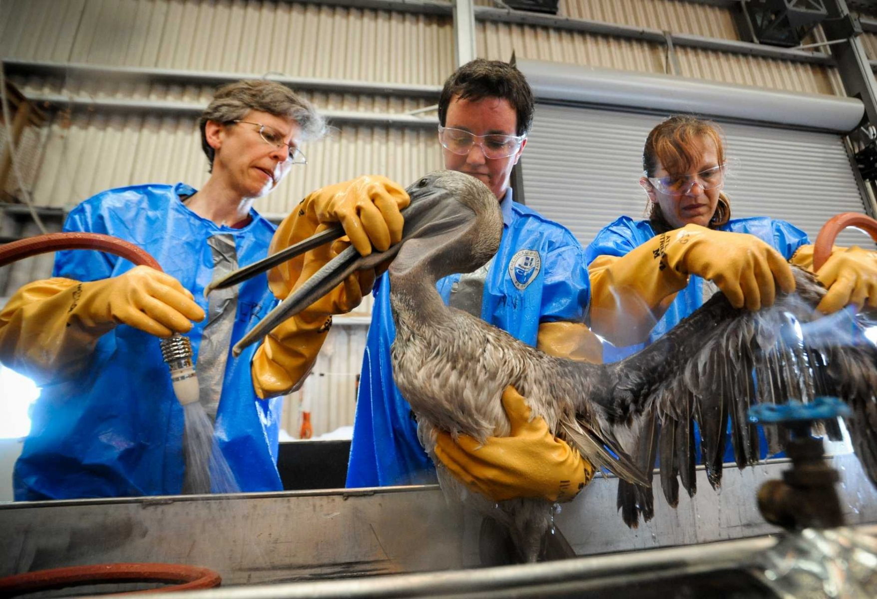De-oiling birds at the BP oil spill in the Gulf of Mexico. USA.