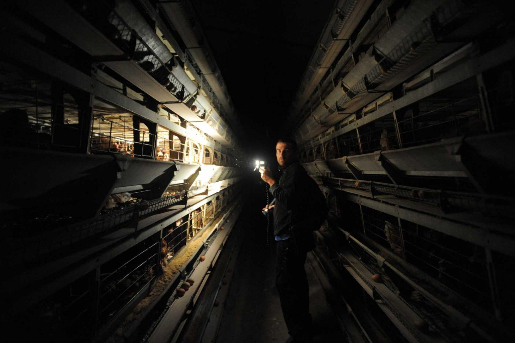Layer hen factory farm investigation. Spain. JMcArthur / Animal Equality.