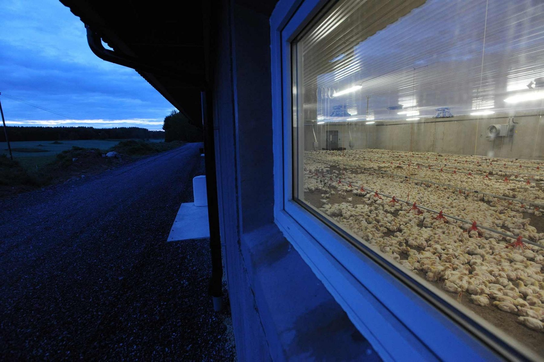 "A ""broiler"" chicken farm. Sweden."