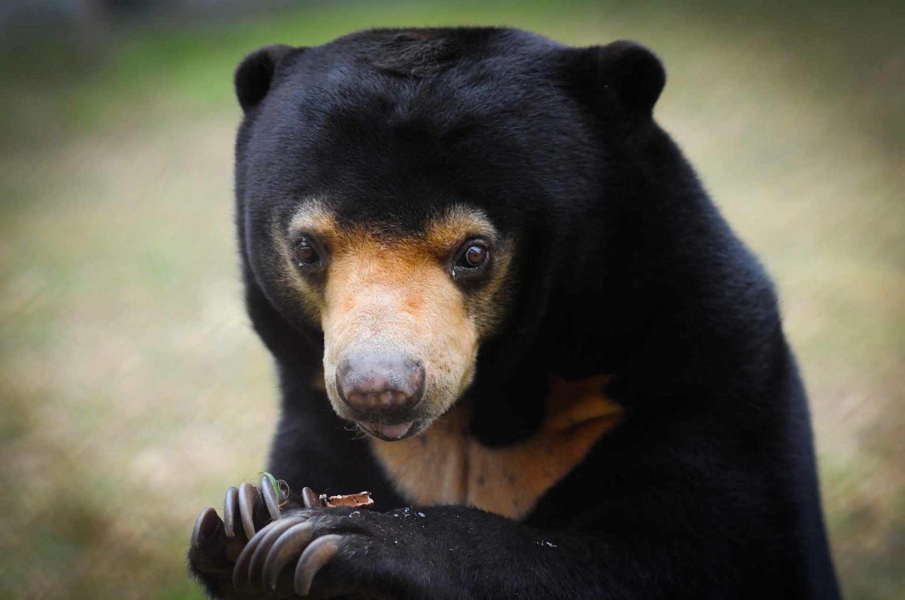 Arkte, a rescued Malayan sun bear, eats a meal off the top of her paw. Animals Asia, Tam Dao sanctuary, Vietnam