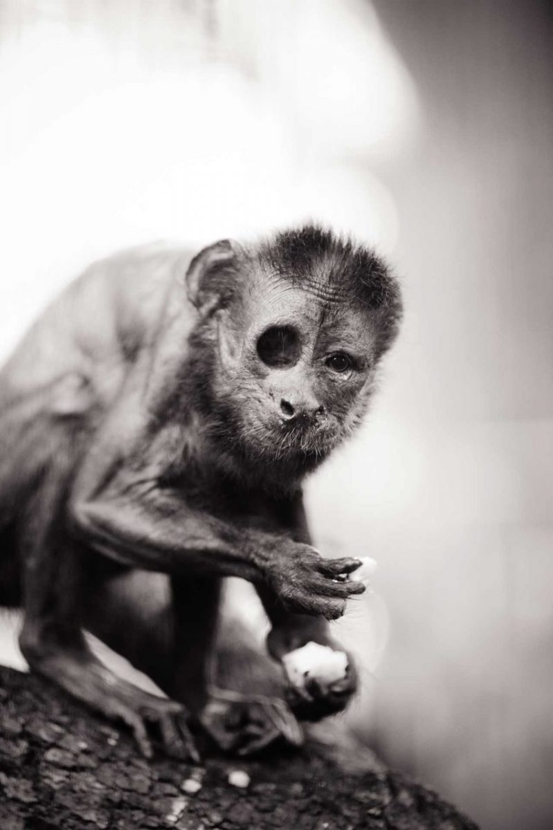 Puchi, an elderly one-eyed capuchin monkey. He lives at Jungle Friends Primate Sanctuary. USA
