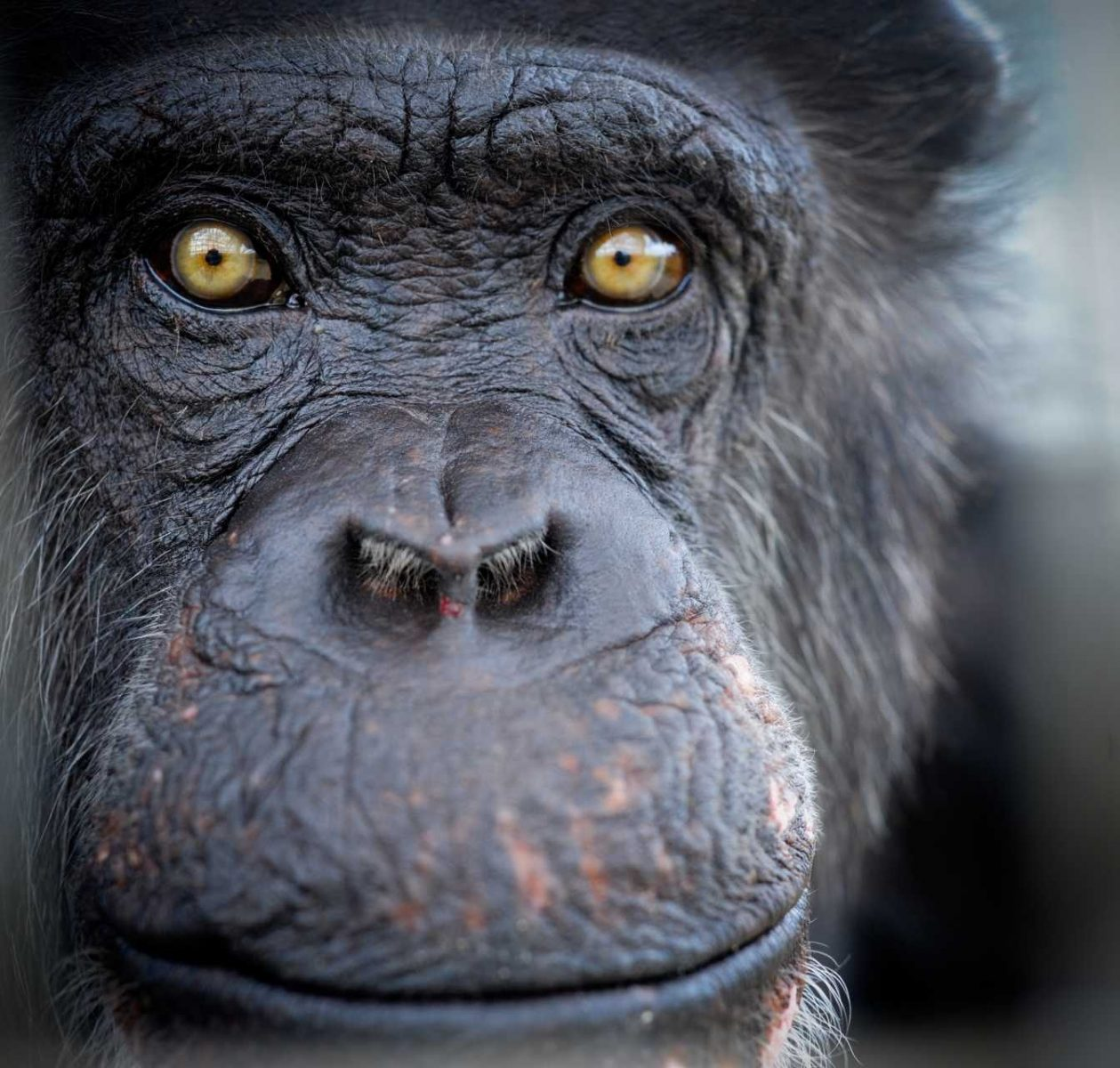 Pepsi, a chimpanzee rescued from research. He lives at Save the Chimps. USA
