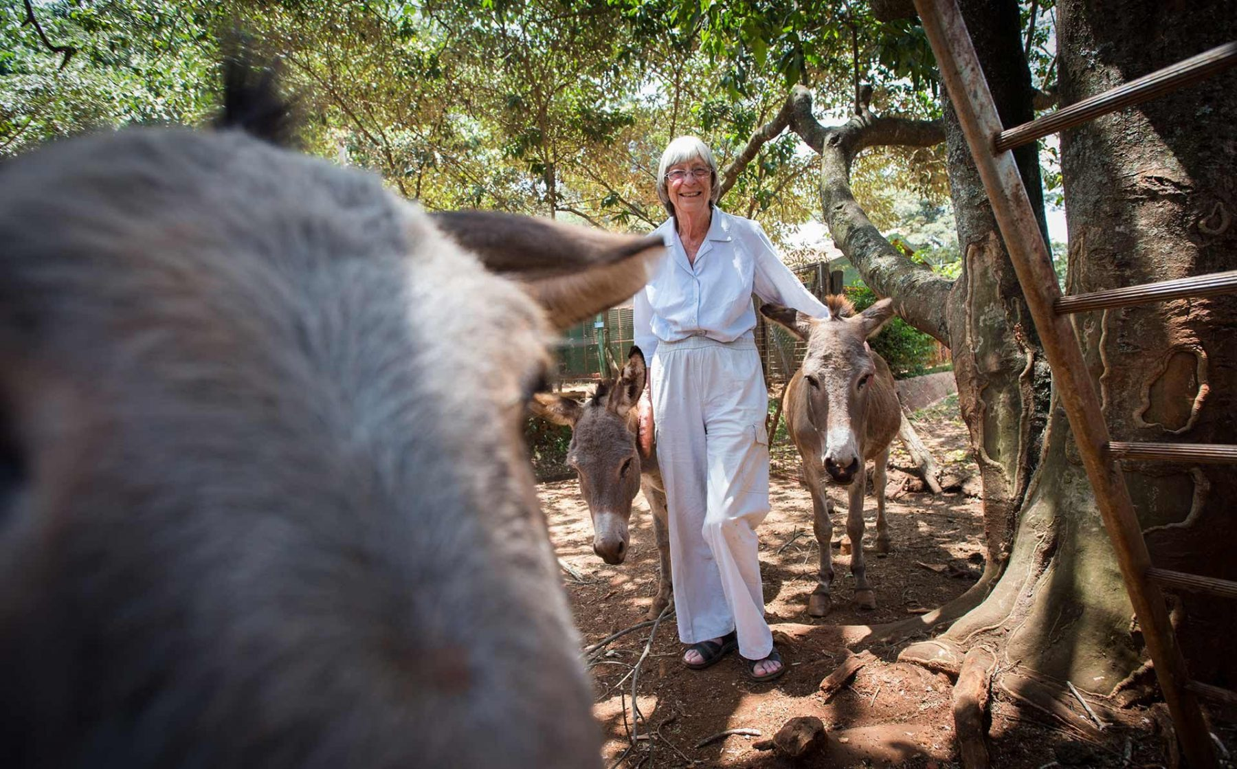 Jean Gilchrist, MBE, with rescued donkeys at the Kenyan SPCA in Nairobi, where she has worked for over 30 years. Kenya, 2016