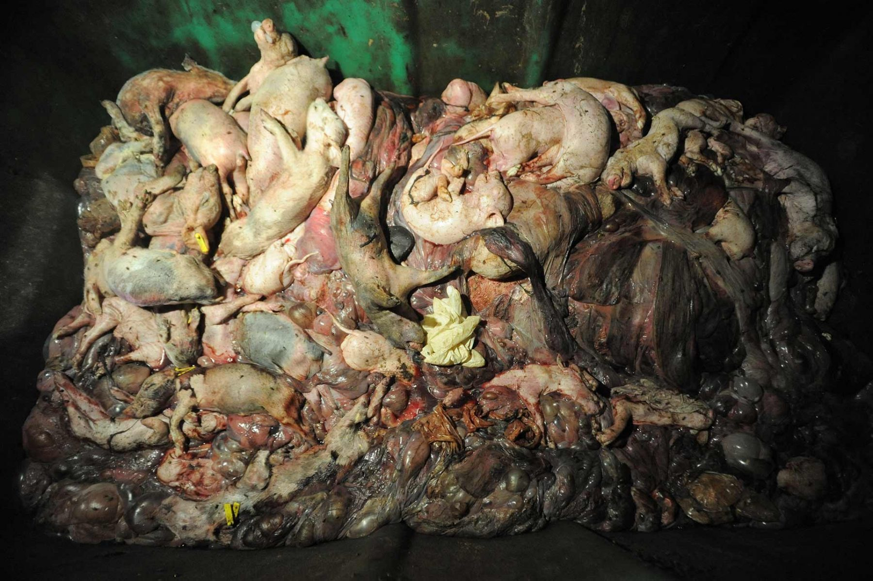 A dumpster full of dead piglets at a factory farm. Spain, 2009.