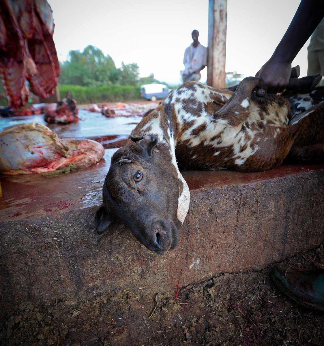 A goat at a slaughterhouse. Tanzania, 2011.