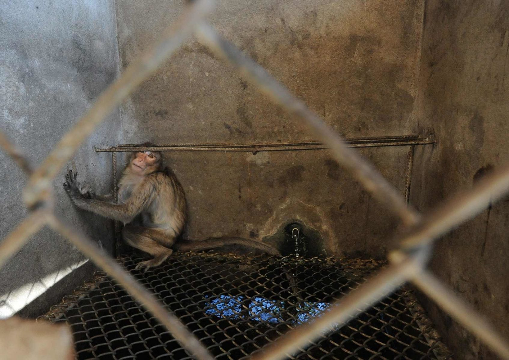 The sick bay at a monkey breeding facility. Monkeys are bred by the thousands in southeast Asia to be shipped off to labs and universities around the globe. Laos, 2011