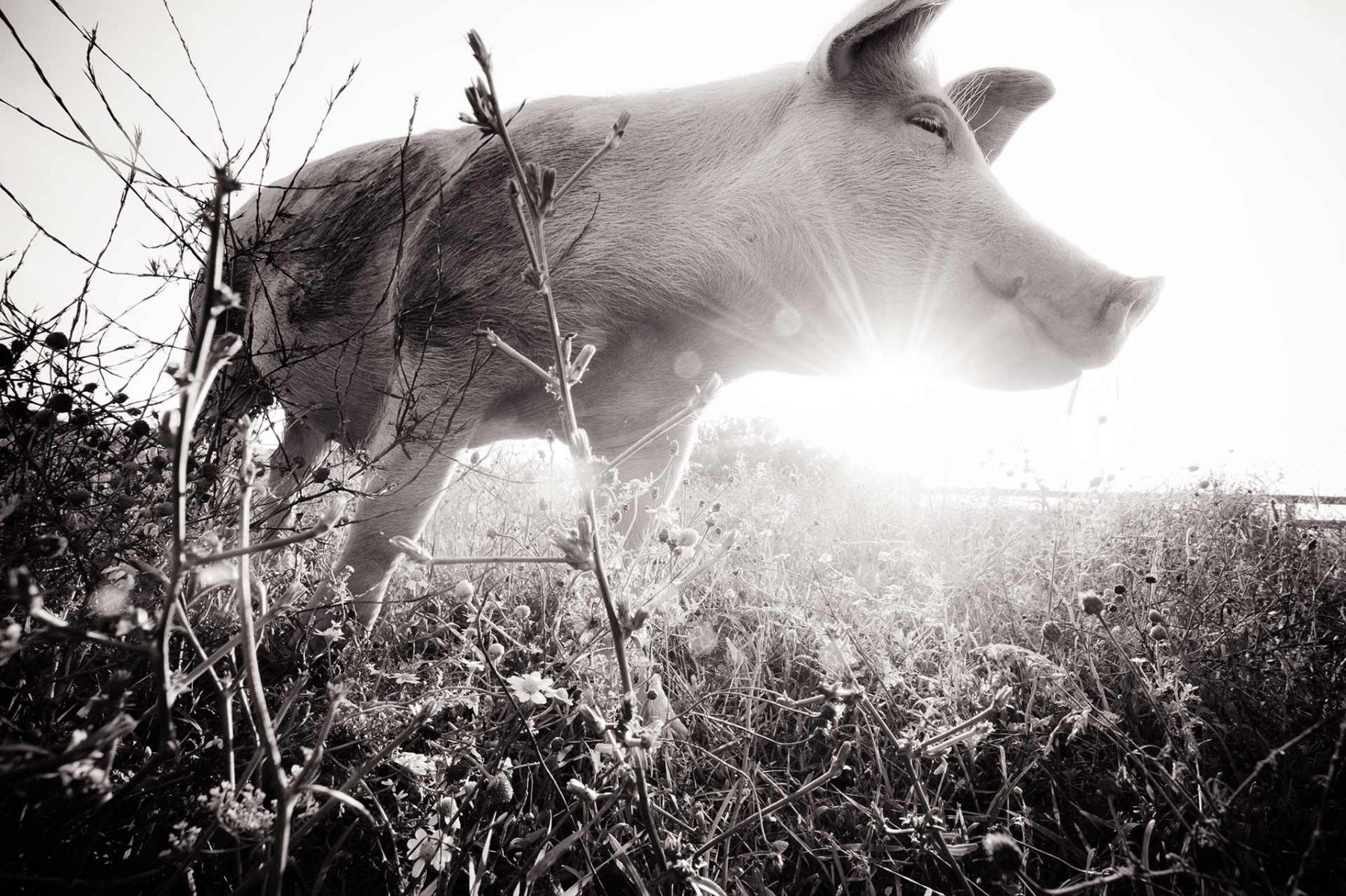 Jane, a pig rescued from factory farming and now living at Farm Sanctuary. USA, 2012