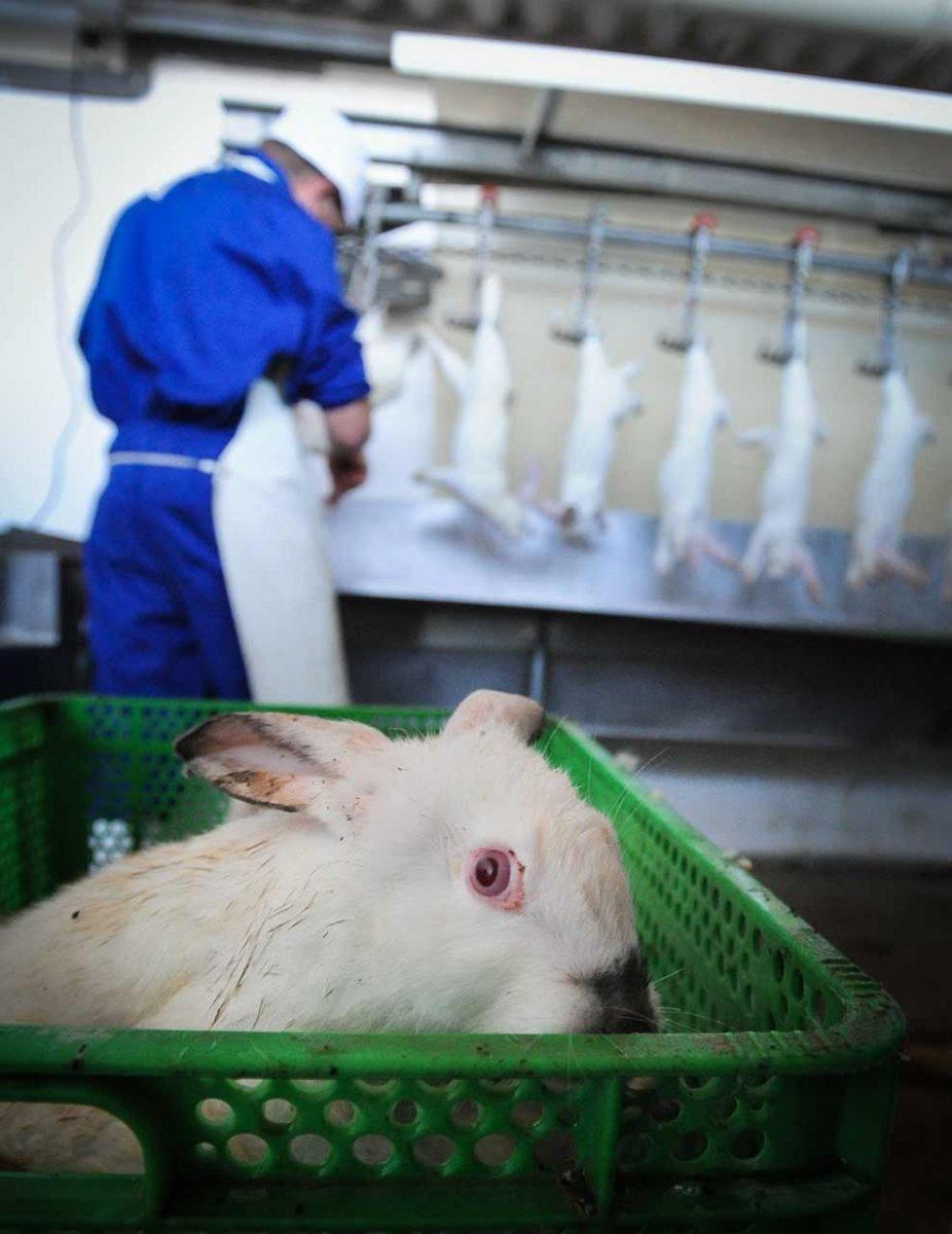 Next in line for slaughter. Spain, 2010. JMcArthur / Animal Equality