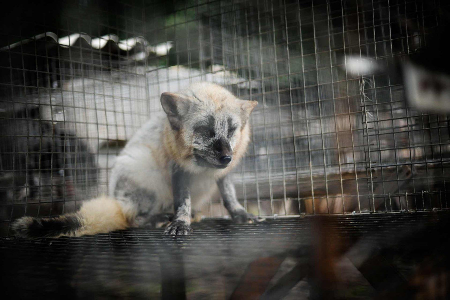 A calico fox in a fur farm. Poland, 2012. JMcArthur / The Ghosts in Our Machine