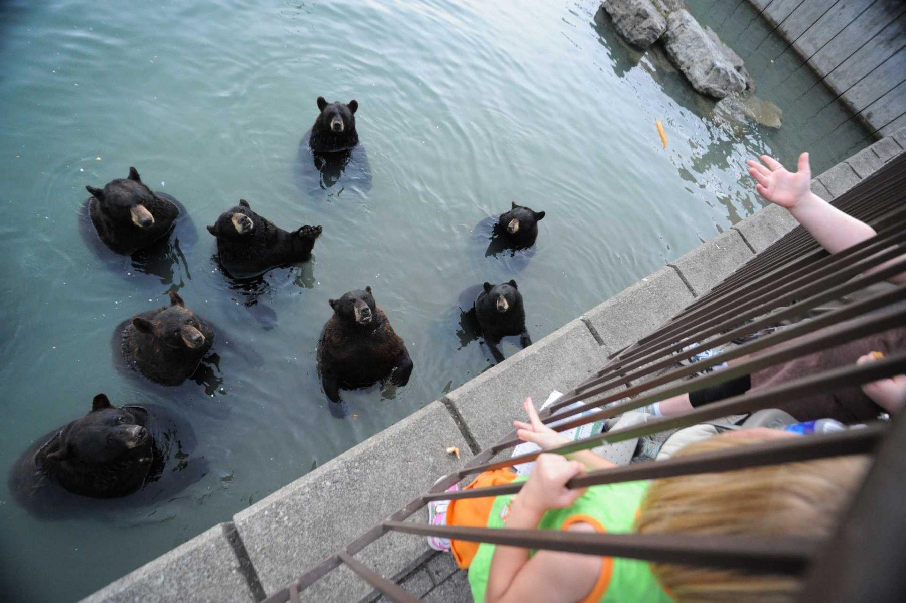 Visitors through junk food to begging bears at Marineland. Canada, 2012.