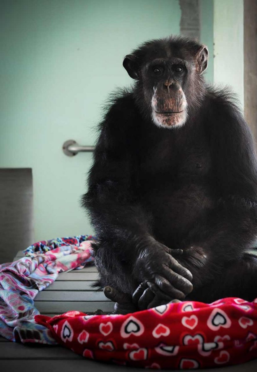 Ron, a chimpanzee who was used for invasive research for over thirty years before he was rescued by Save the Chimps. Though he had acres of sanctuary on which to roam, he mostly chose to stay indoors, in the comfort of a nest of blankets which he would circle around himself. USA, 2011