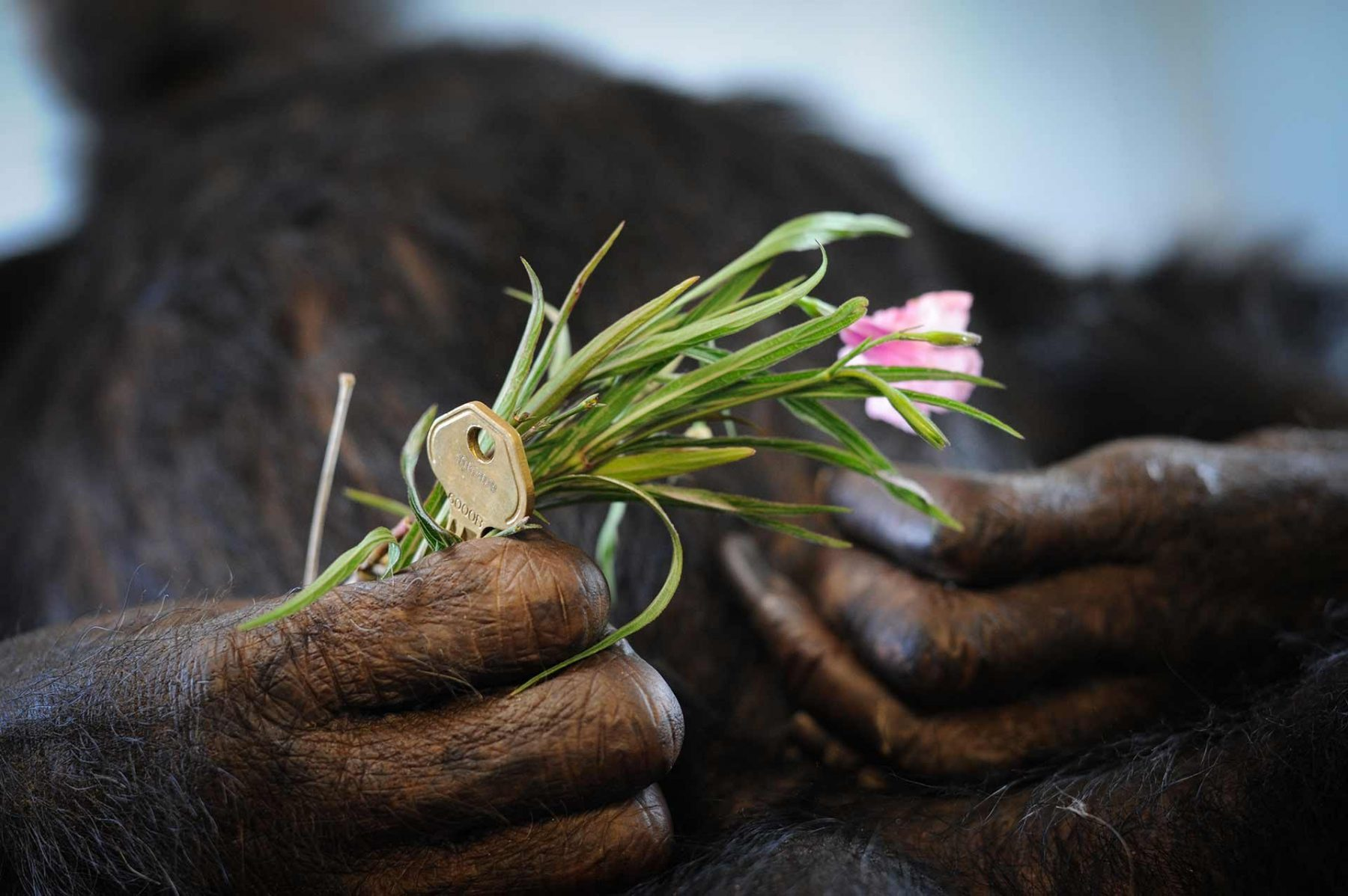 When a chimpanzee at Save the Chimps passes away, a key is placed in their hand, symbolic of a key to freedom. The primates at Save the Chimps have all been rescued from lives in laboratories, or from the pet and entertainment industries. USA, 2014.