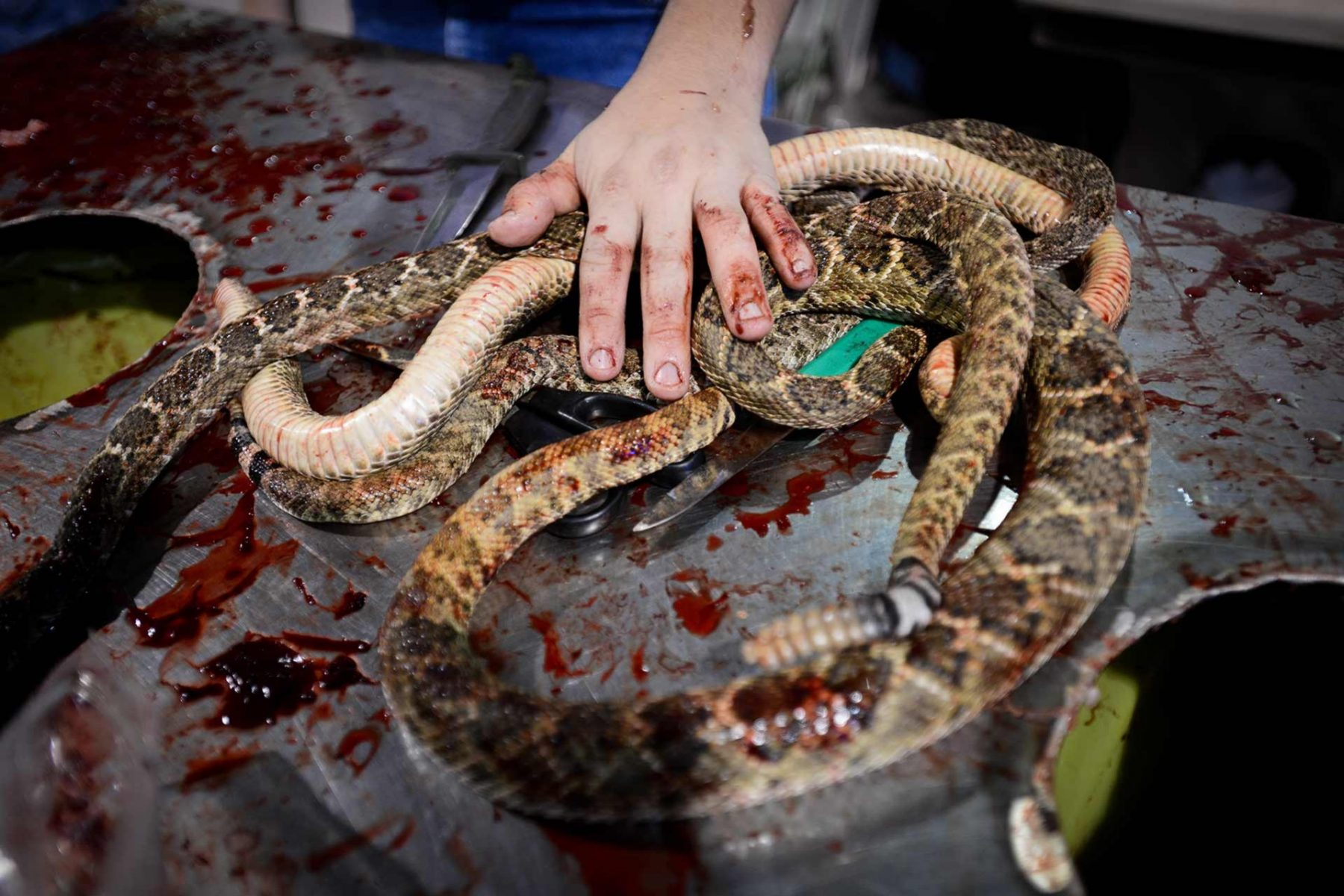 Dead rattlesnakes at the Sweetwater Rattlesnake Roundup in Texas. USA, 2015