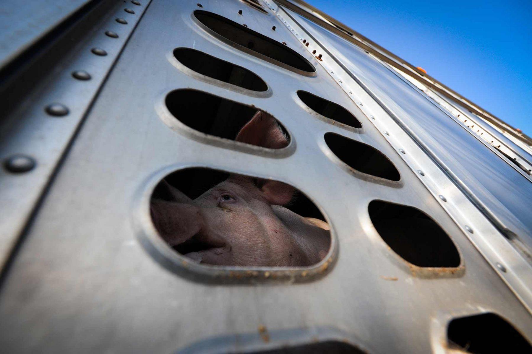 The Cruellest Sky. Pig in Transport. Canada, 2012