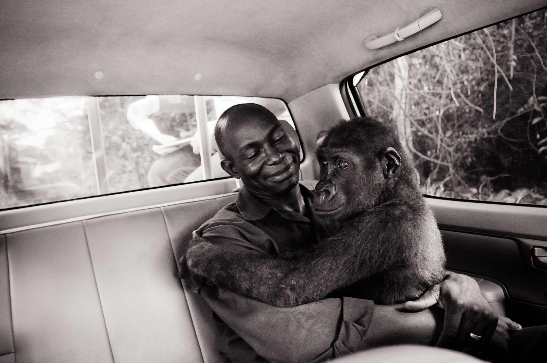 Appolinaire and Pikin. Pikin was orphaned by the bush meat trade in Africa. Here, she is being transported from the vet clinic to a new sanctuary space at Ape Action Africa. Cameroon, 2009